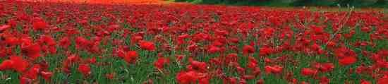 redflower06e.jpg